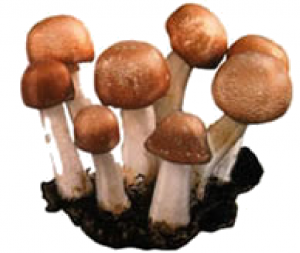 ABM Mushroom