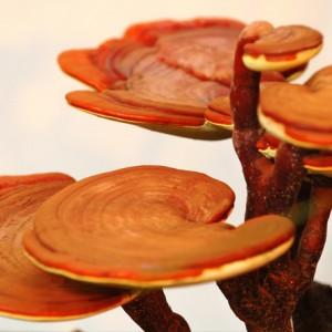 ganoderma lucidium the reishi mushroom